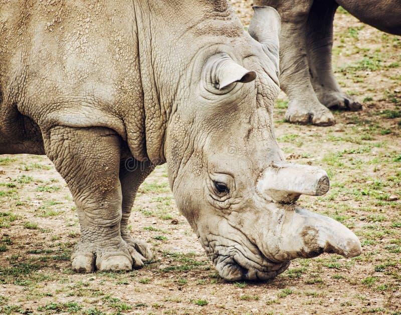 Profilera ståenden av den vita noshörningen - Ceratotheriumsimum s arkivbild