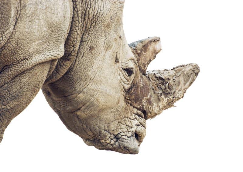 Profilera ståenden av en vit noshörning - stående på viten b arkivfoton