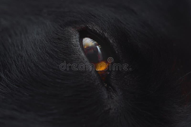 Profilez la fin d'extrémité de visage et d'oeil de chien noir  photo libre de droits