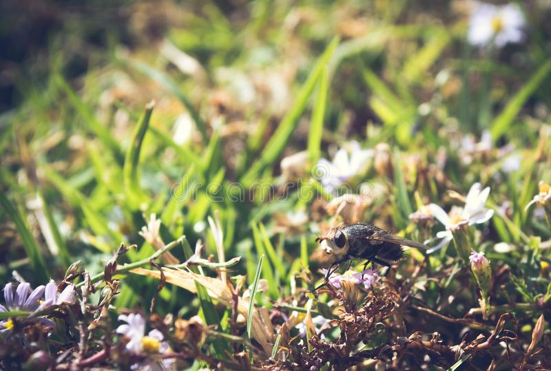 Profilez la vue, macro photo d'une mouche commune de maison qui a débarqué sur un petit wildflower photographie stock libre de droits
