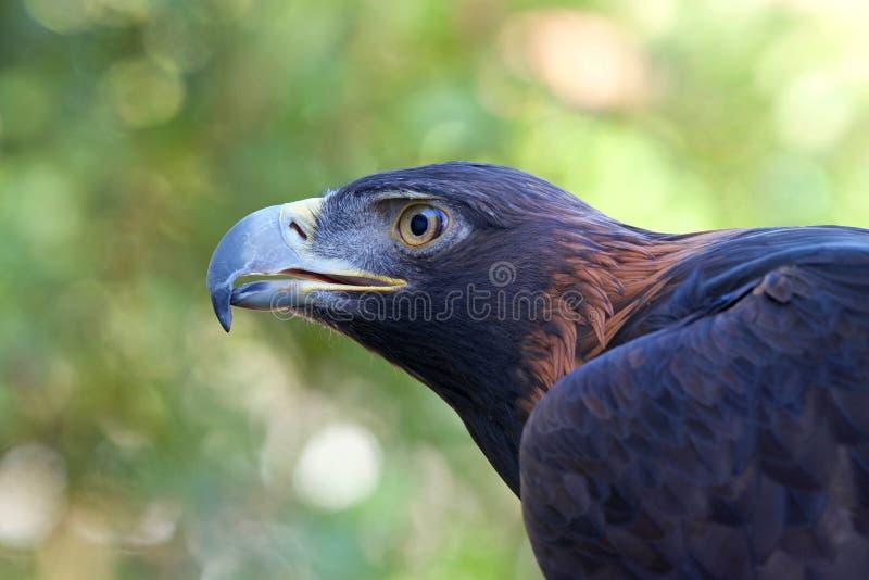 Profilez le portrait des arbres d'Eagle d'or à l'arrière-plan OOF images libres de droits