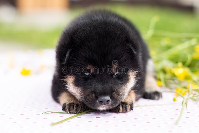 Profilez le portrait du beau chiot d'inu de shiba de deux semaines se trouvant sur la table dans le domaine de renoncule photos stock