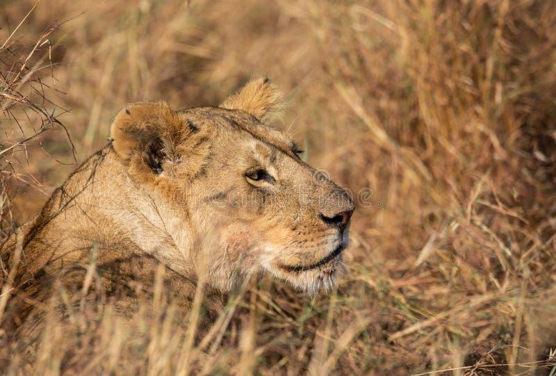 Profilez le portrait du lion femelle, panthera de Lion, avec l'herbe grande à l'arrière-plan africain de paysage photo libre de droits
