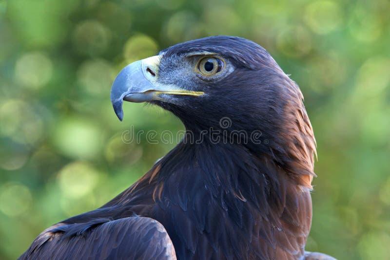 Profilez le portrait haut étroit d'Eagle d'or image stock