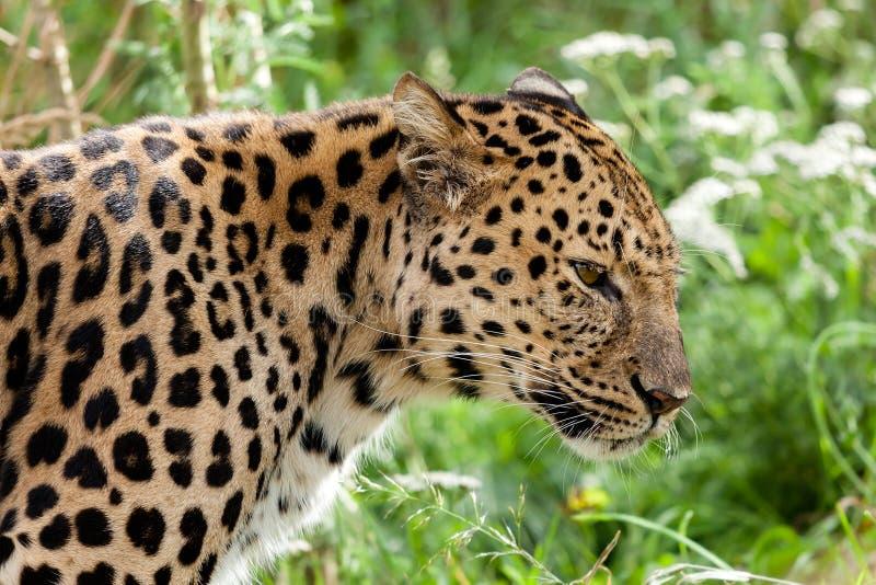 Profilhuvud som skjutas av den tillbaka LitAmur leoparden royaltyfria foton