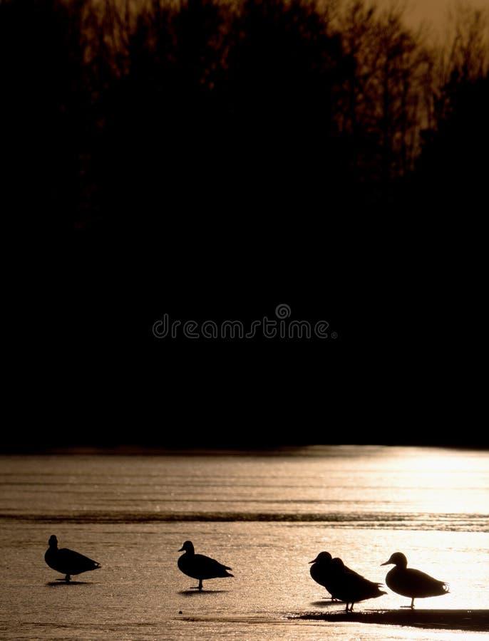 Profili delle anatre Colata della copertura del ghiaccio sotto il sole caldo fotografia stock libera da diritti