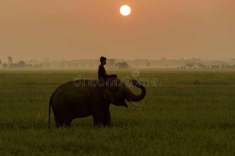 Profili l'azione dell'elefante nel giacimento del riso al tramonto, Surin, Tha fotografia stock