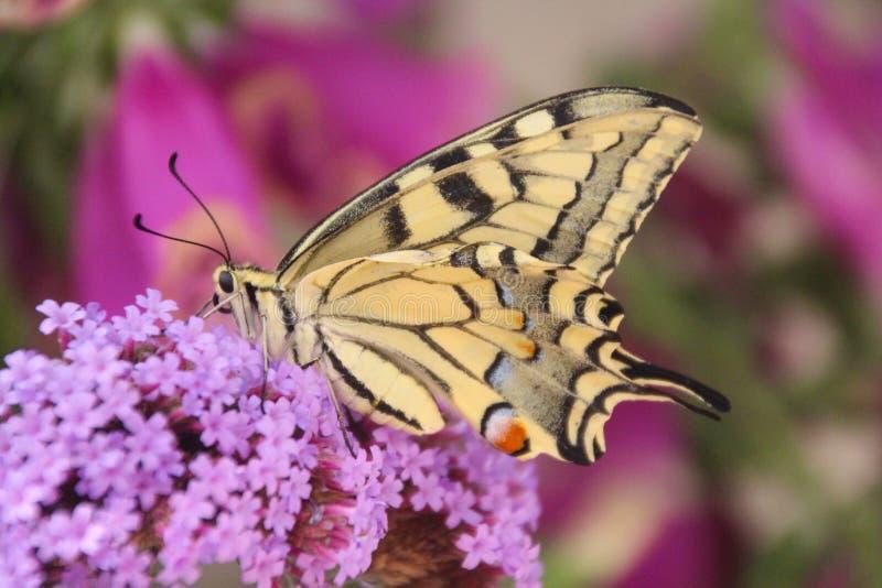 Profilieren Sie Unterseitenansicht eines schönen gemeinen gelben swallowtail Schmetterlinges stockbilder
