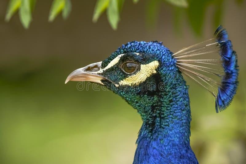Profilo capo del pavone immagini stock