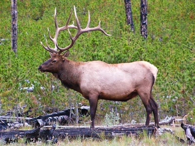 Profilo degli alci del Bull fotografie stock