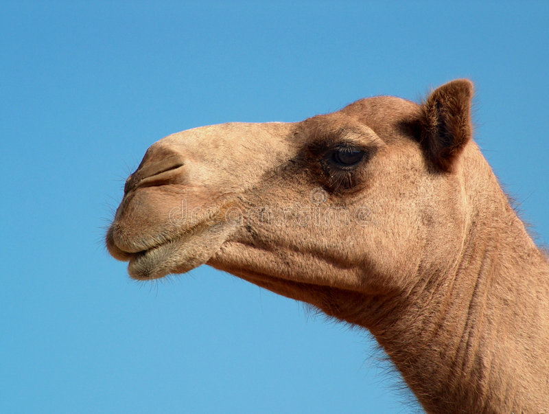 Profilo del cammello immagine stock