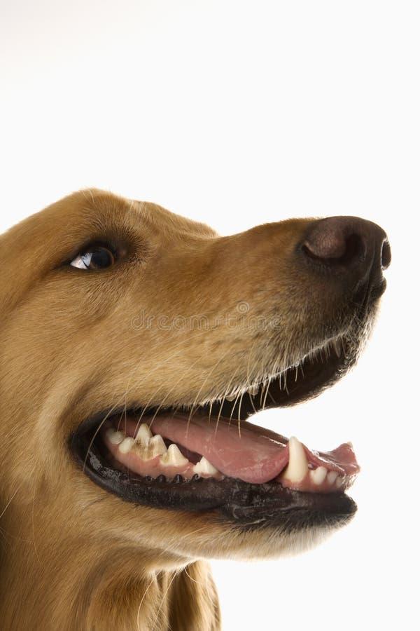 Profilo del cane del documentalista dorato. fotografia stock libera da diritti