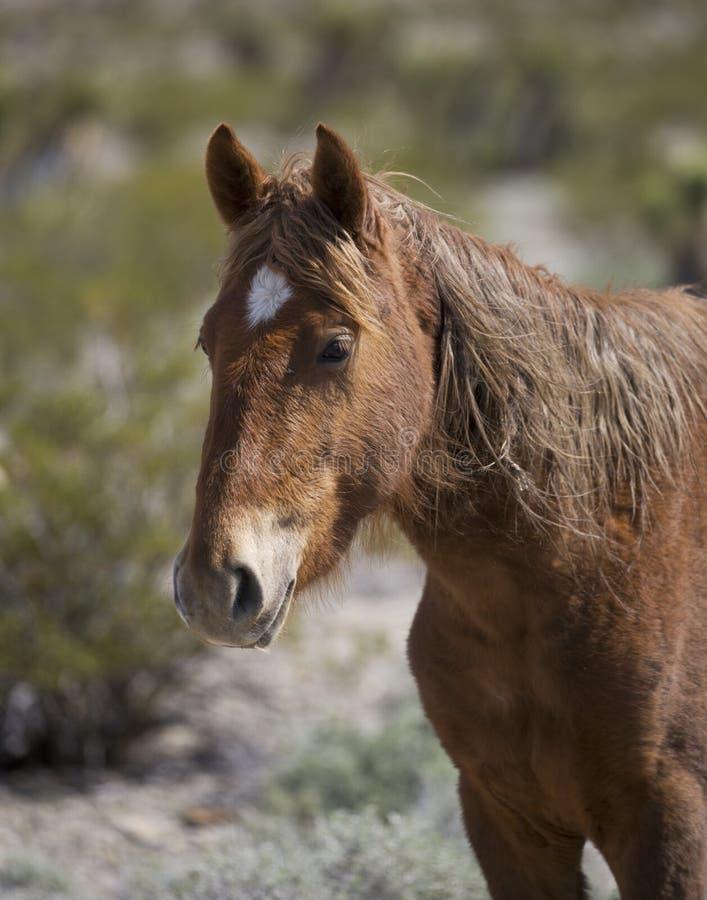 Profilo del cavallo selvaggio del Nevada nel deserto fotografia stock libera da diritti