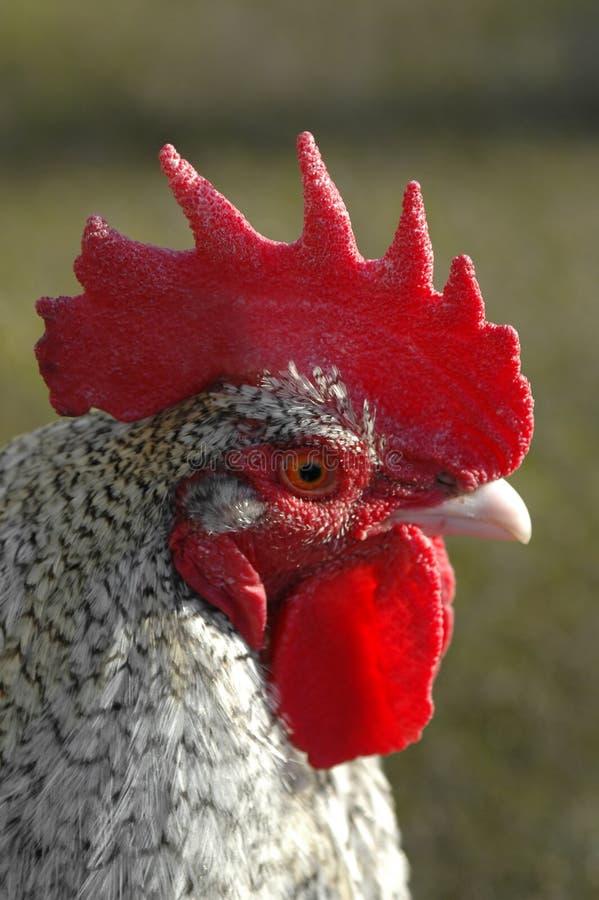 Profilo del gallo fotografia stock