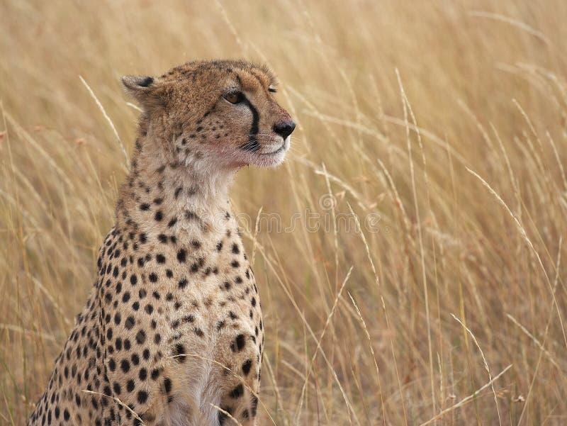 Profilo del ghepardo fotografia stock
