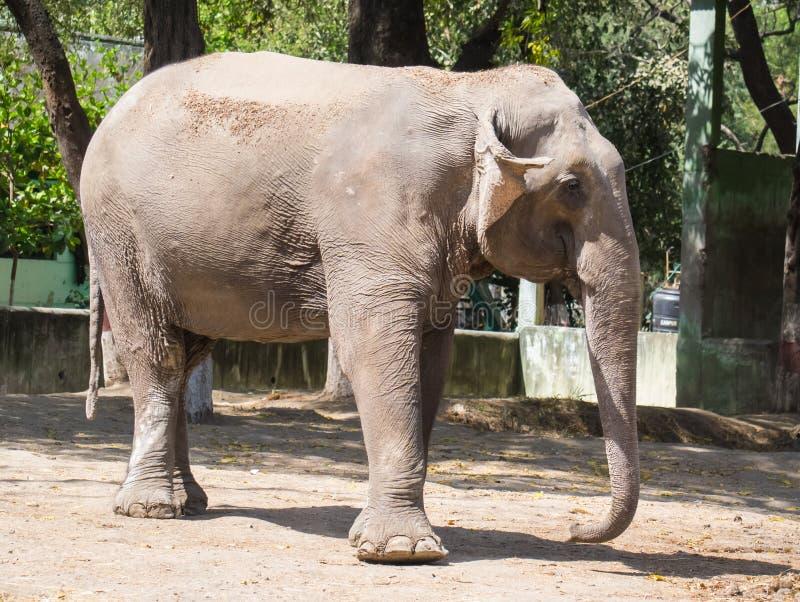 Profilo del lato del primo piano dell'elefante asiatico immagine stock