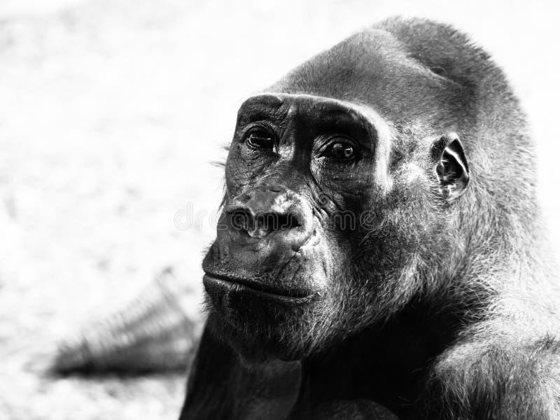 Profilo del primo piano della gorilla fotografie stock libere da diritti
