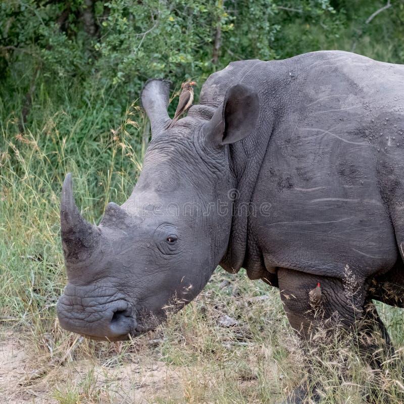 Profilo del rinoceronte bianco, fotografato a Sabi Sands Game Reserve, Kruger, Sudafrica immagini stock libere da diritti
