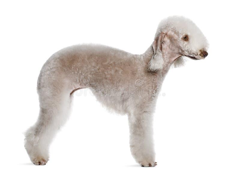 Profilo del terrier di Bedlington, levantesi in piedi immagini stock libere da diritti