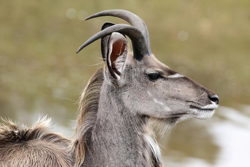 Profilo dell'antilope di Kudu immagini stock libere da diritti