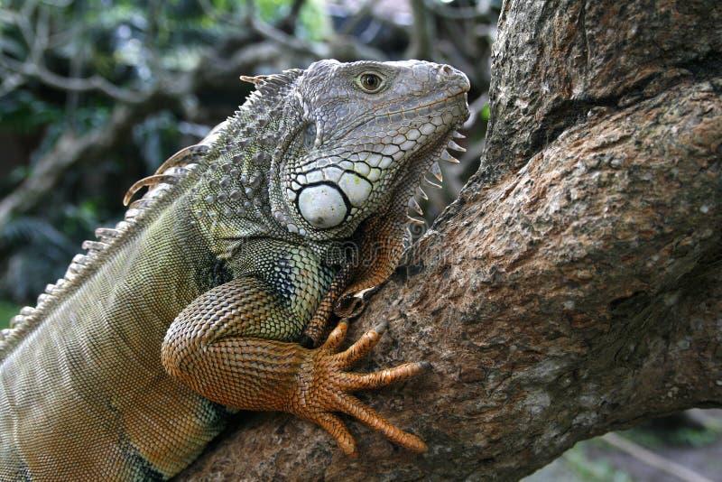 profilo dell'iguana fotografie stock