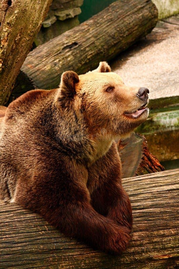 Profilo dell'orso fotografia stock libera da diritti