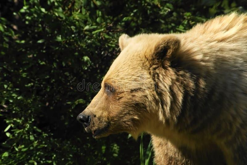 Profilo dell'orso grigio fotografie stock
