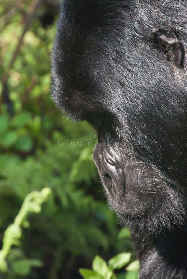 Profilo della gorilla fotografia stock