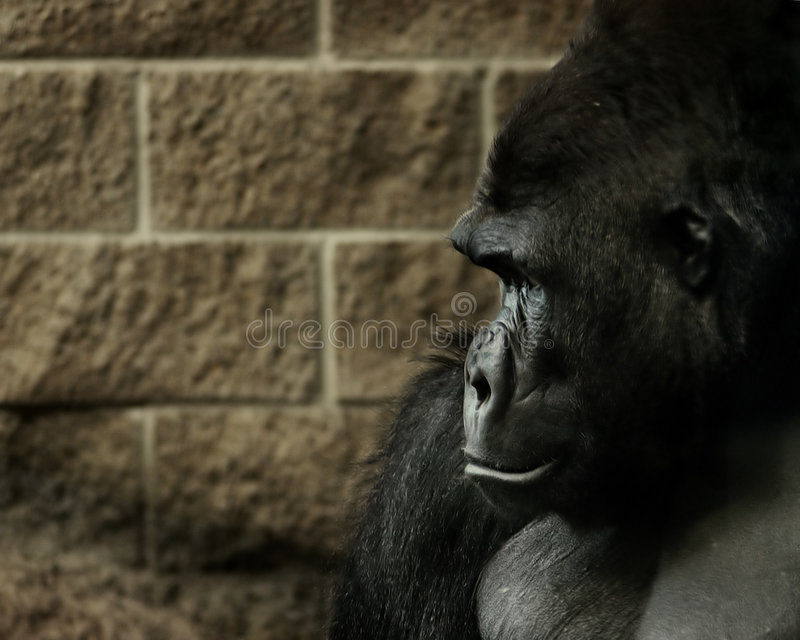 Profilo della gorilla fotografie stock libere da diritti