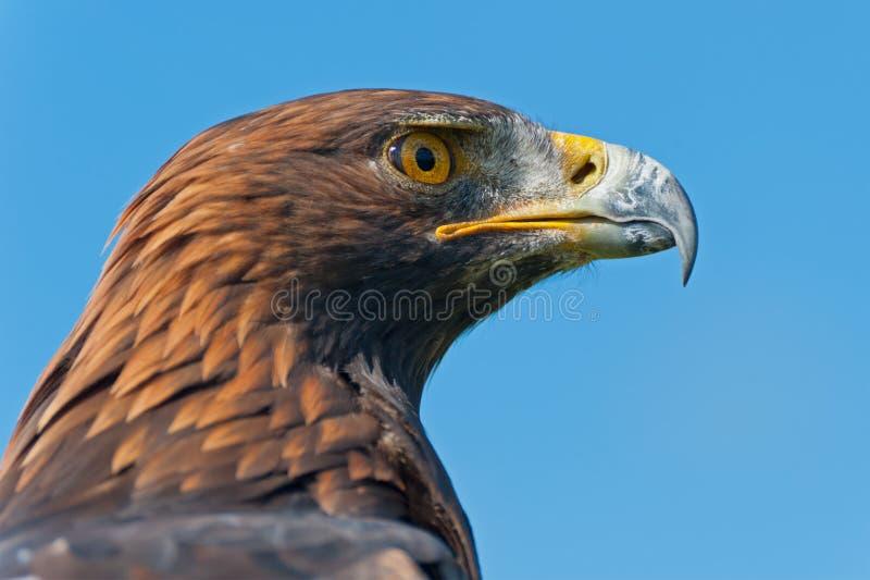 Profilo della testa dell'aquila dorata immagine stock