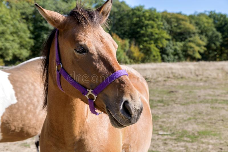 Profilo della testa di cavallo della baia immagine stock libera da diritti
