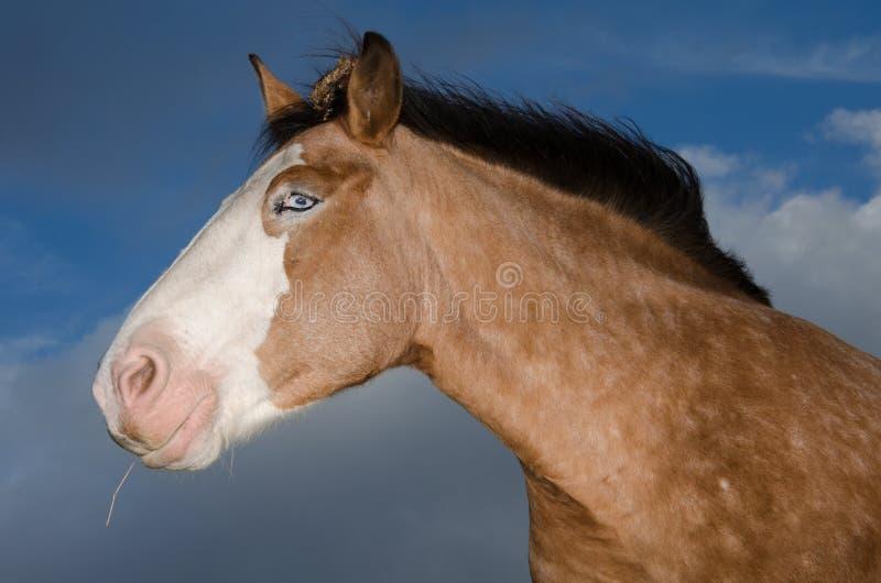 Profilo della testa di cavallo degli occhi azzurri fotografia stock libera da diritti