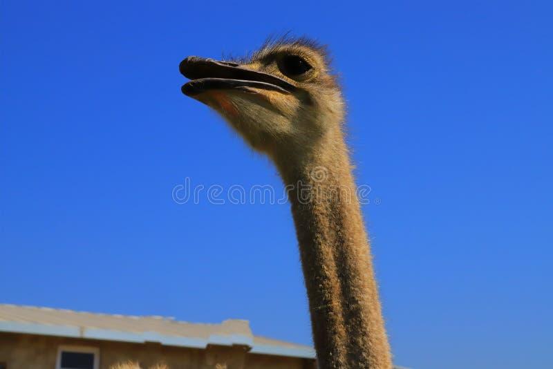Profilo della testa di Ostrich, primo piano immagine stock