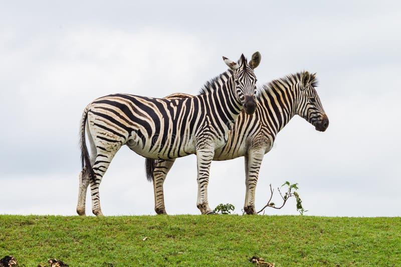 Profilo Delle Zebre Due Fotografie Stock