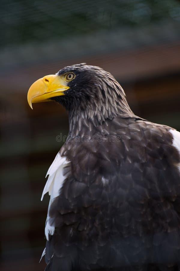 Profilo di un'aquila con un becco giallo fotografie stock libere da diritti