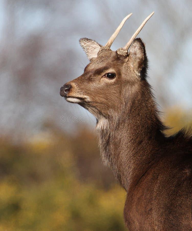 Profilo di un cervo Sika con i corni immagini stock libere da diritti