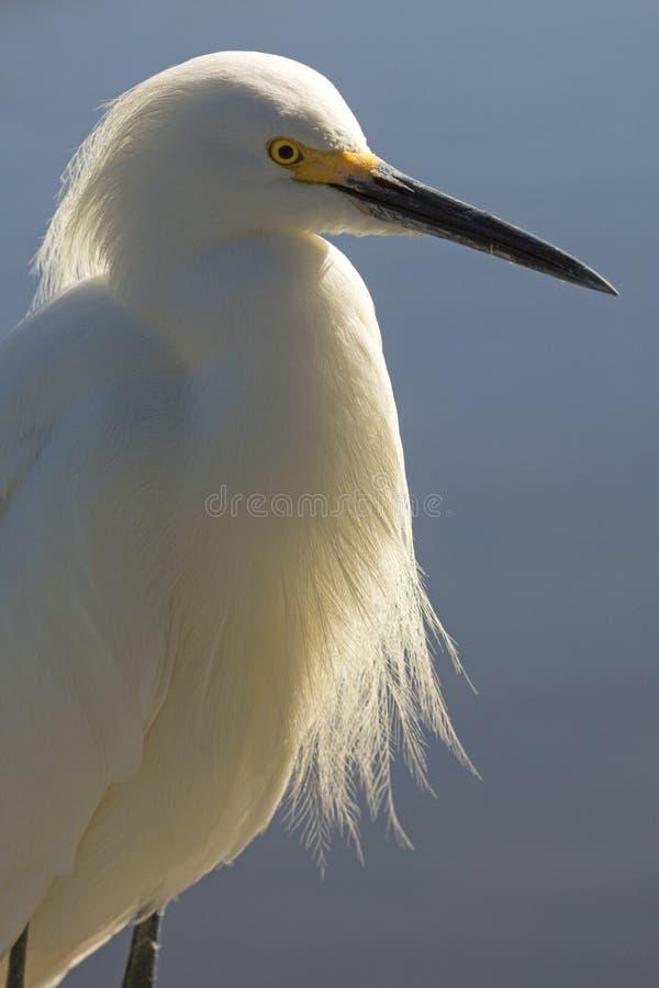 Profilo di un'egretta nevosa ad una palude in Florida fotografia stock