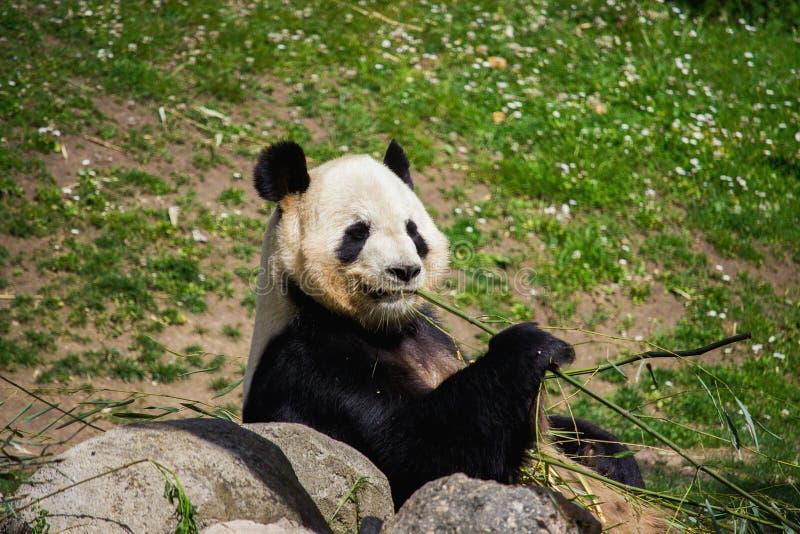 Profilo di un panda immagini stock libere da diritti