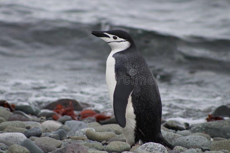 Profilo di un pinguino di sottogola in Antartide fotografie stock