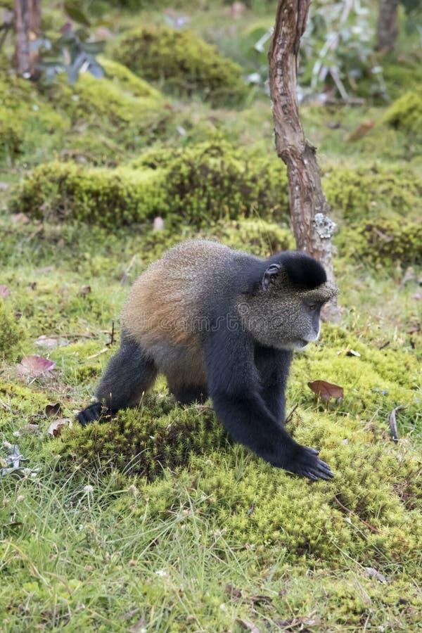 Profilo dorato pericoloso della scimmia, parco nazionale dei vulcani, Rwand fotografie stock libere da diritti