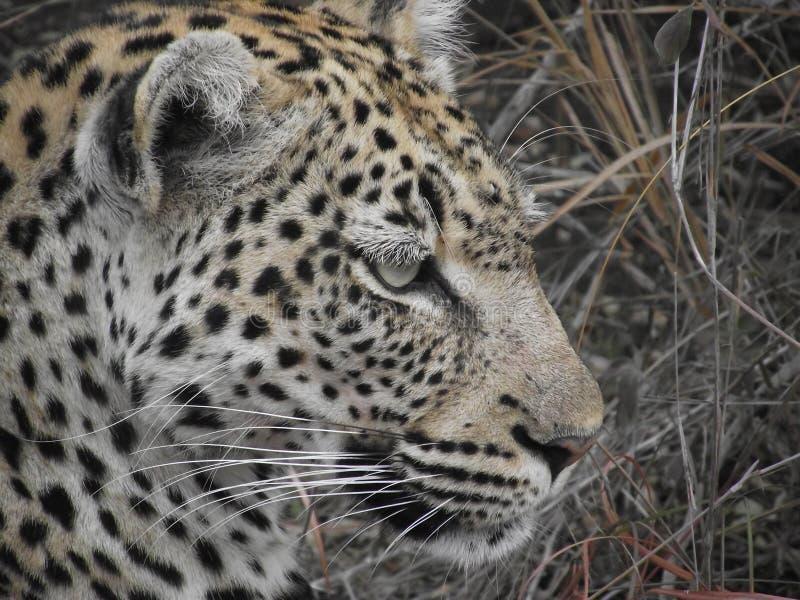 Profilo femminile del facial del primo piano del leopardo fotografie stock libere da diritti