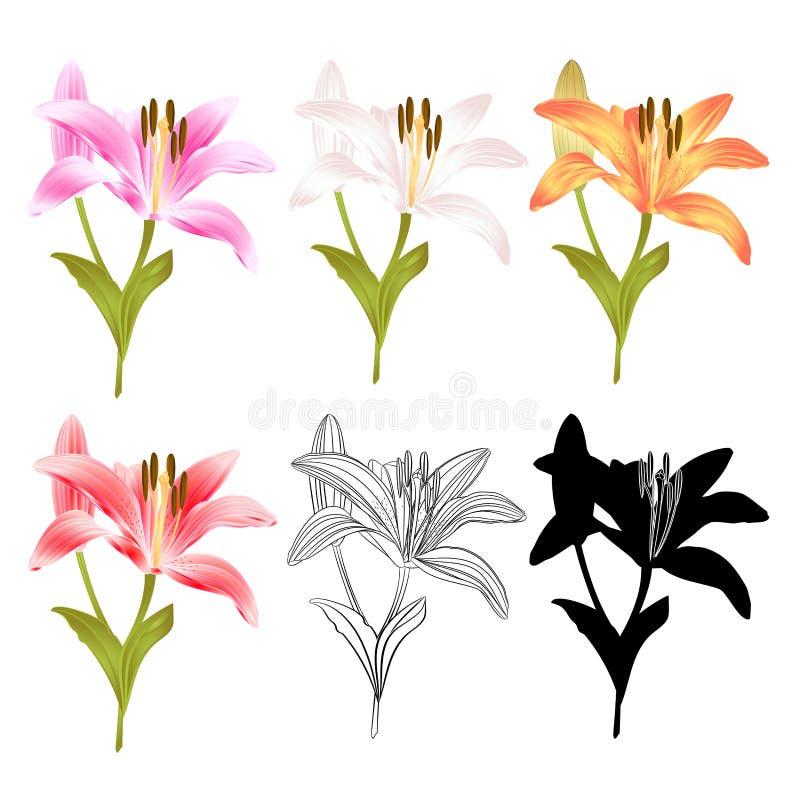 Profilo giallo di rosa bianco giallo del fiore del giglio del gambo e Lilium rossi della siluetta candidum, su un illust d'annata illustrazione di stock