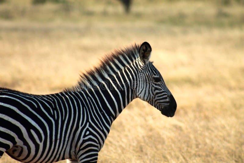 Profilo laterale della zebra giovanile immagine stock libera da diritti
