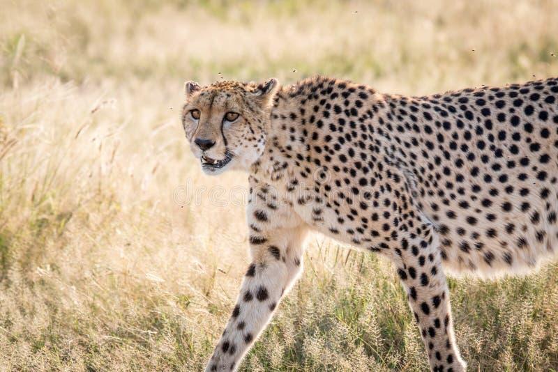 Profilo laterale di un ghepardo fotografie stock