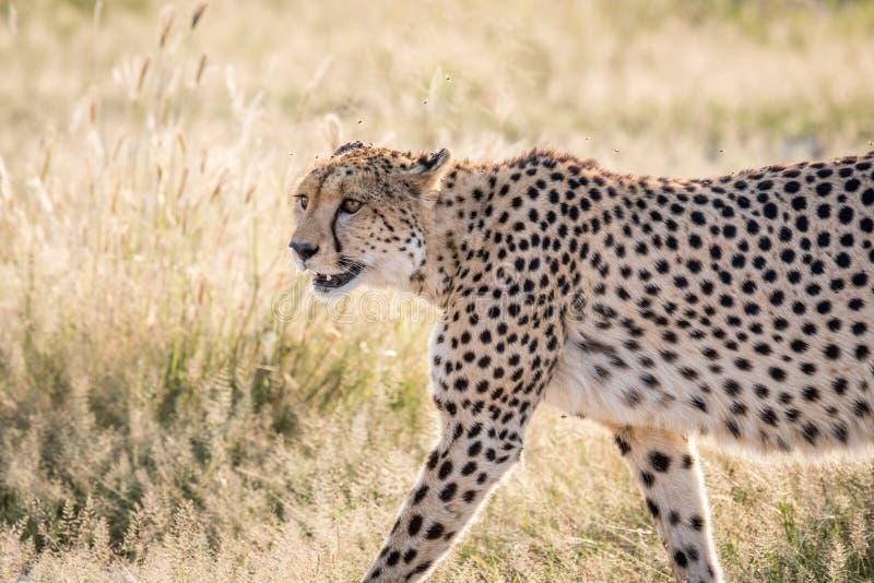 Profilo laterale di un ghepardo fotografia stock