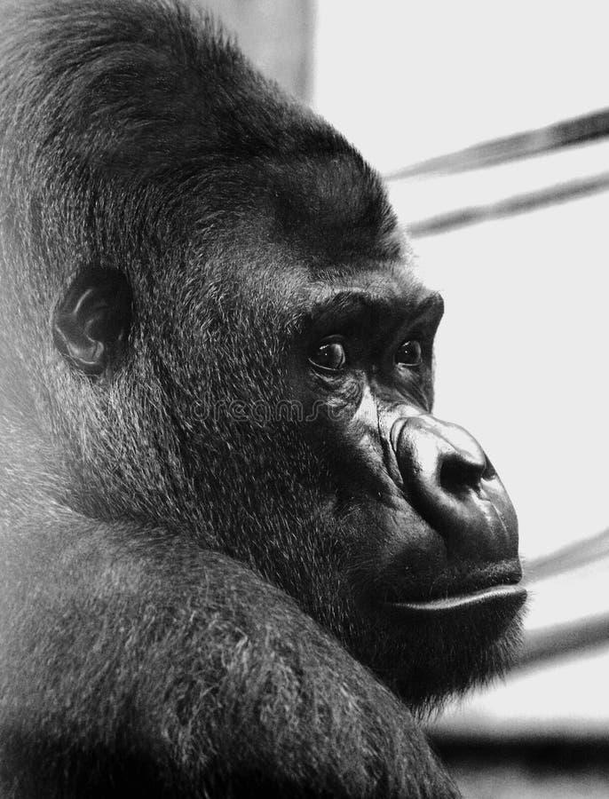Profilo laterale di una gorilla del silverback immagini stock libere da diritti