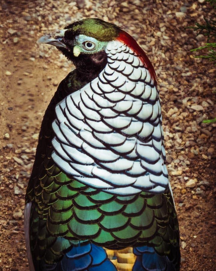 Profilo maschio del lato del fagiano del ` s di signora Amherst immagini stock