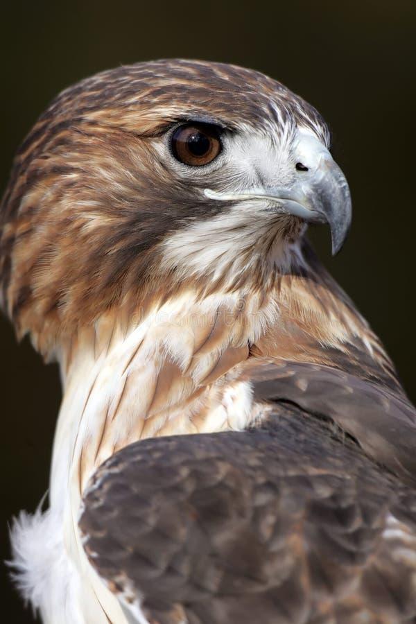 Profilo munito rosso del falco