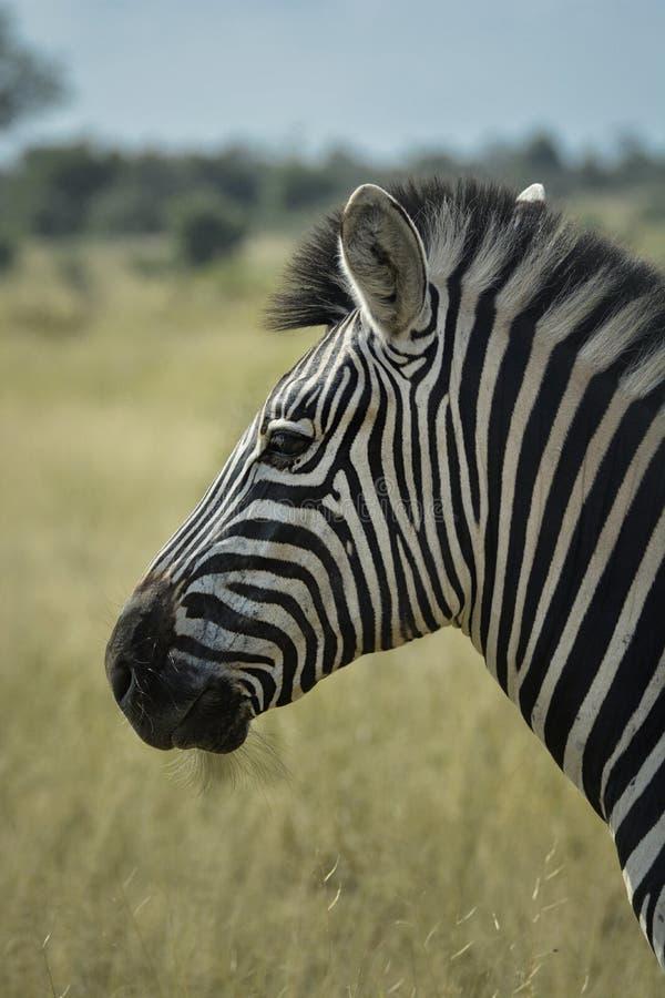 Profilo normale della zebra che guarda a sinistra sul fondo della savana fotografia stock libera da diritti