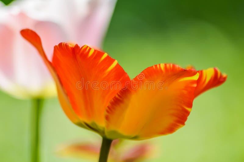 Profilo rosso e giallo a strisce del fiore del tulipano fotografia stock
